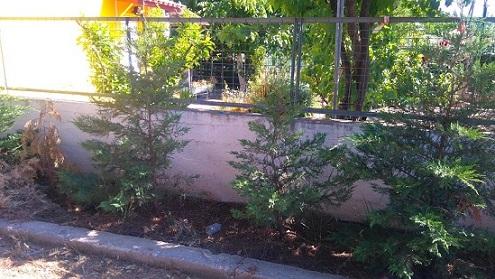 Ιδιώτης μήνυσε τον Δήμο Διρφύων Μεσσαπίων για φυτεμένα «λεμονοκυπάρισσα» μέσα σε σχολείο