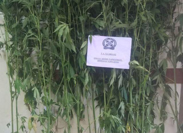 Πολιτικά: 59χρονη στην «φάκα» με 13 δενδρύλλια χασίς