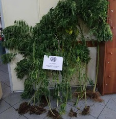 Ψαχνά: 66χρονος και 54 χρονος πιάστηκαν να καλλιεργούν 12 δενδρύλλια  Κάνναβης
