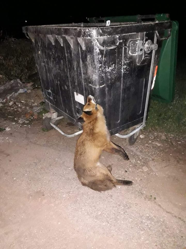 Ψαχνά:Κρέμασαν αλεπού σε κάδο απορριμμάτων 51564323 389309055168741 2740518021968691200 n
