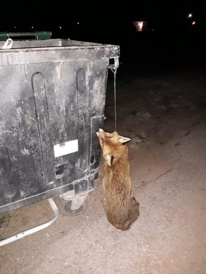Ψαχνά:Κρέμασαν αλεπού σε κάδο απορριμμάτων 51708269 237374373807810 1066887648901070848 n