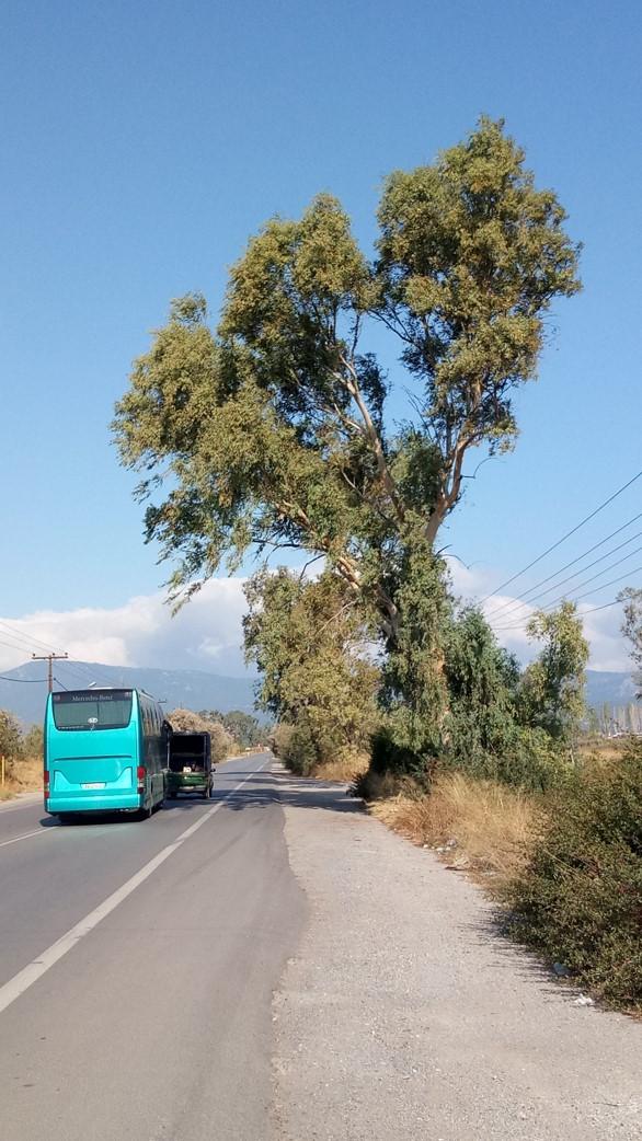 Επικίνδυνα δένδρα στον Κολοβρέχτη 1 15