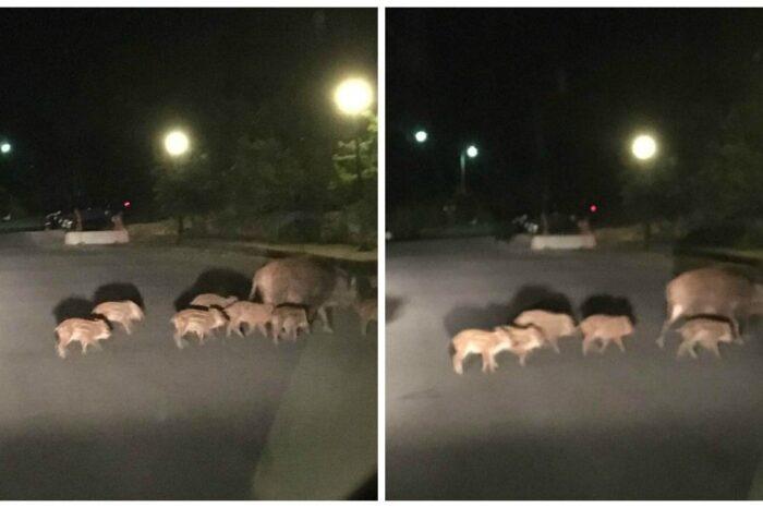 Φόβος και τρόμος  τα αγριογούρουνα που πετάγονται στους δρόμους την νύχτα στην περιοχή-Νέο περιστατικό στον δρόμο Ψαχνών-Πολιτικών